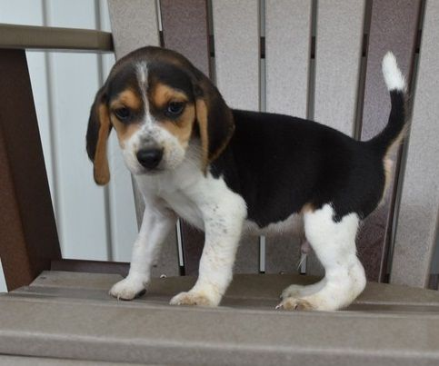 Respectful Mf Beagle Puppies For Sale Los Angeles California Pets