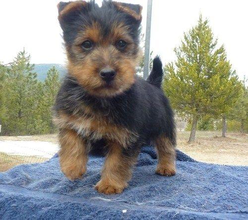 Baby Face Australian Terrier Puppies For Sale Los Angeles California
