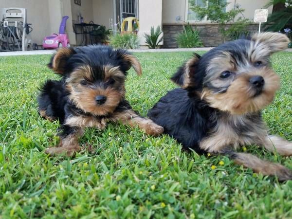 Tiny Teacup Yorkies Los Angeles California Pets For Sale Classified