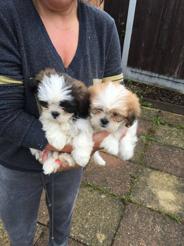 Shih Tzu Puppies Available For Adoption Los Angeles California