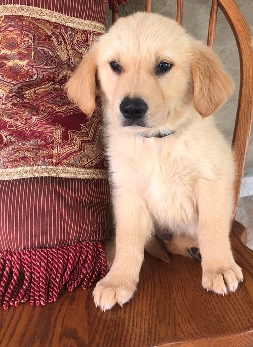 Golden Retriever Puppies Los Angeles California Pets For Sale