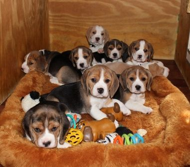 Show Quality Beagle Puppies Los Angeles California Pets For Sale
