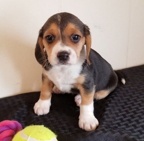 Beagle Puppies For Sale Los Angeles California Pets For Sale
