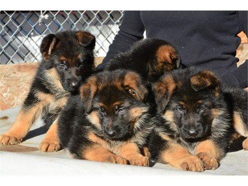 German shepherd puppies :>>