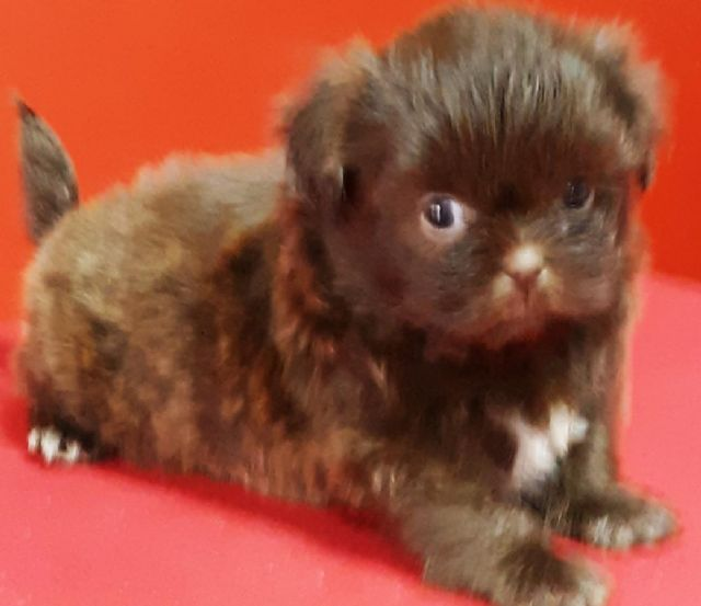 Shih tzu pupies fro sale