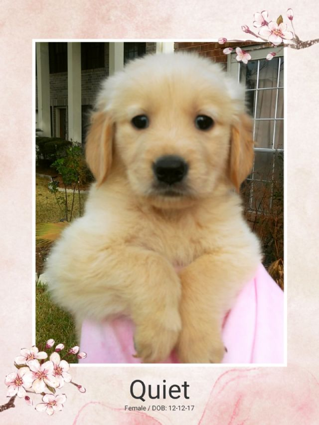 Akc Champion Bloodlines Golden Retriever Puppy Houston Texas Pets