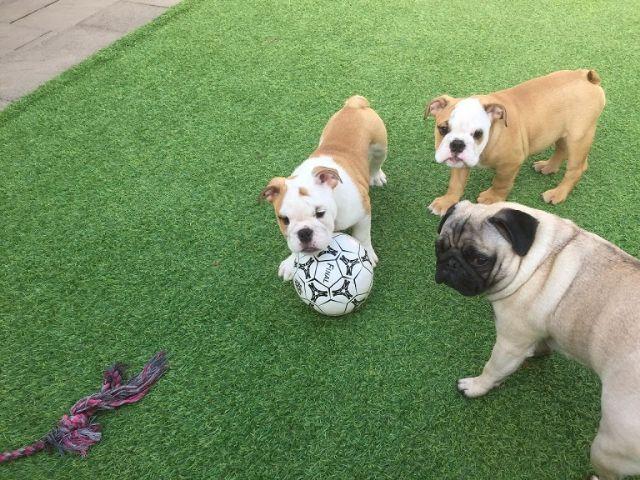Red White And All White English Bulldog Puppies Houston Texas Pets