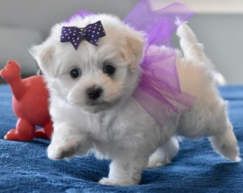 Maltese Puppies Lake Charles Louisiana Pets For Sale Classified Ads