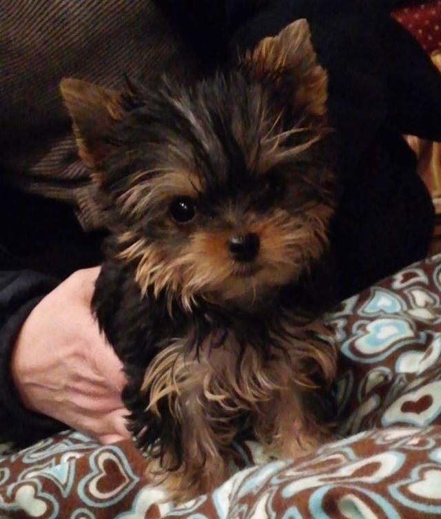 Affectionate Purebred Yorkie Puppies Omaha Nebraska Pets For Sale
