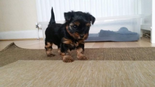 Pretty Teacup Yorkie Puppies For Sale