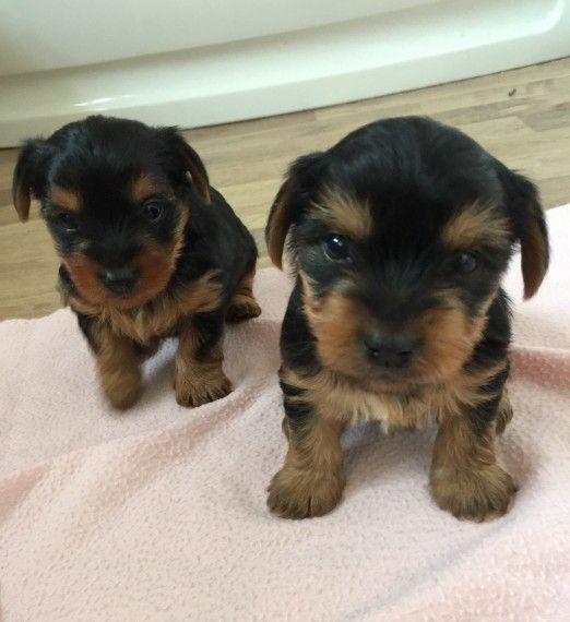 Good Yorkies Puppies Hickory North Carolina Pets For Sale Classified