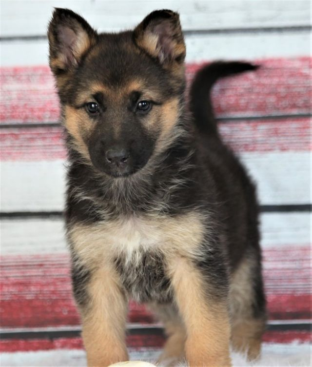 Beautiful German Shepherds Puppies Available Lake Havasu City
