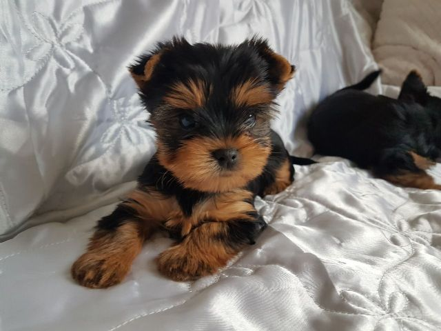 Free Yorkie Puppies Southern Illinois Illinois Pets For Sale