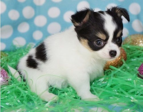 Precious Chihuahua Puppies For Free Adoption Flagstaff Arizona Pets
