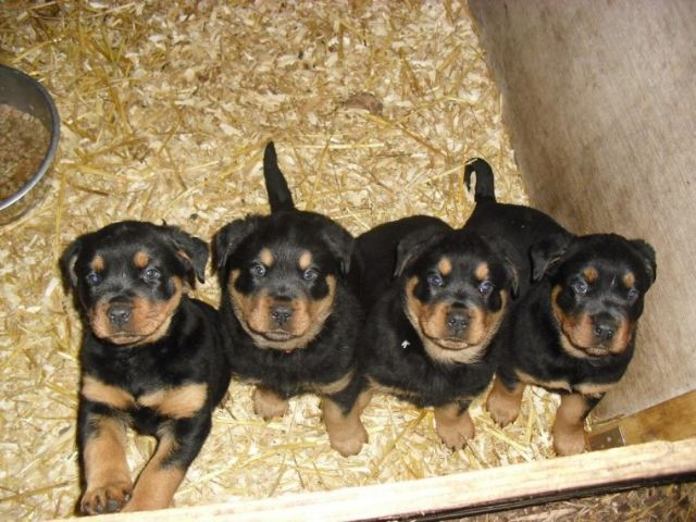 Top Quality Rottweiler Pups El Paso Texas Pets For Sale Classified