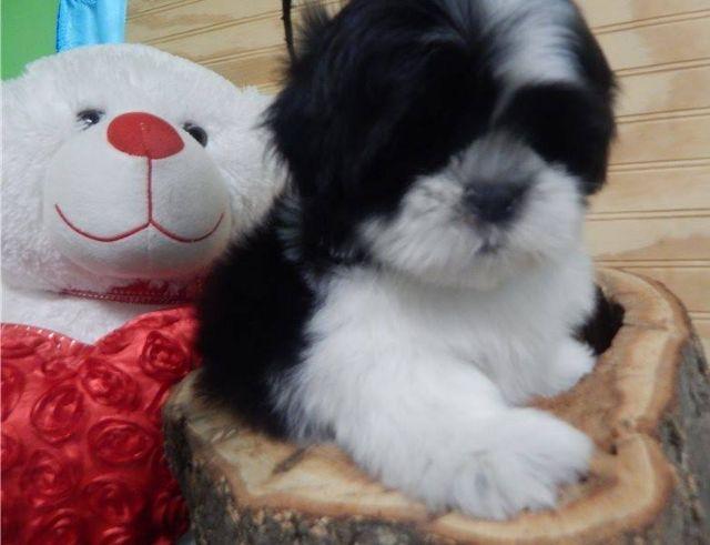Excellent Shih Tzu Puppies For Adoption El Paso Texas Pets For Sale