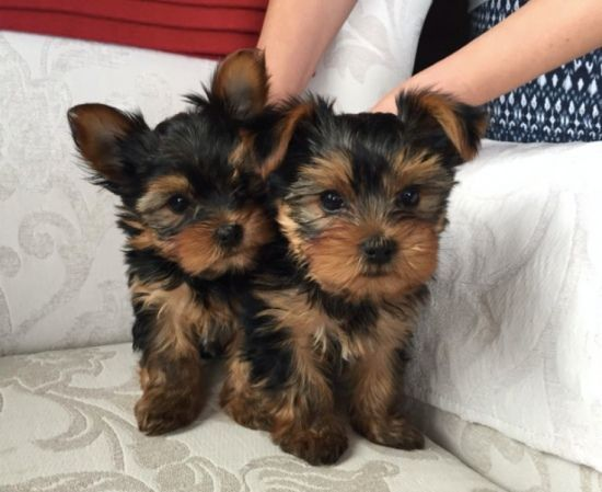 Yorkshire Terrier For Adoption409359 1958 El Paso Texas Pets For