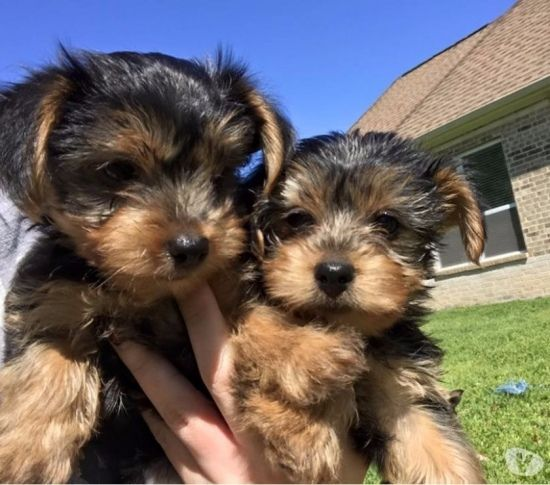Purebred Tiny Teacup Yorkie Puppies El Paso Texas Pets For Sale