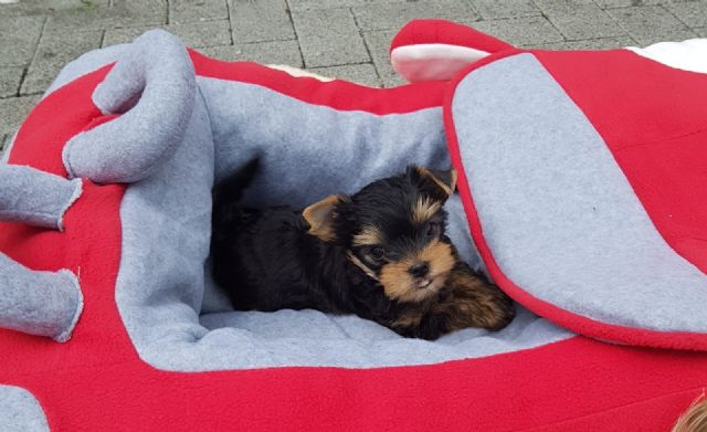 Top Quality Male And Female Teacup Yorkie El Paso Texas Pets For