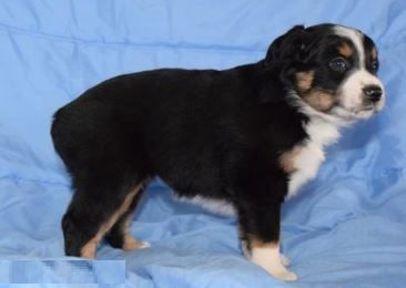 Root Beer - Australian Shepherd Puppy