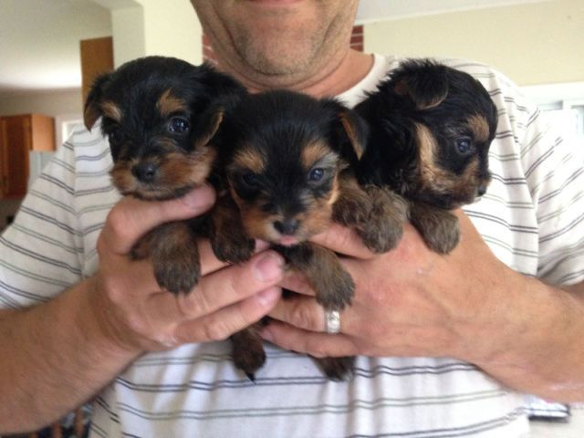 Registered Yorkie Puppies For Sale Chicago Illinois Pets For Sale