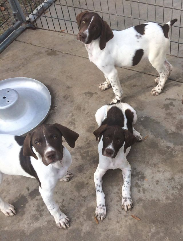 German Shorthaired Pointer Puppies Fayetteville North Carolina Pets