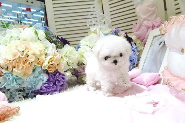 Cute Maltese Puppies For Adoption Boise Idaho Pets For Sale