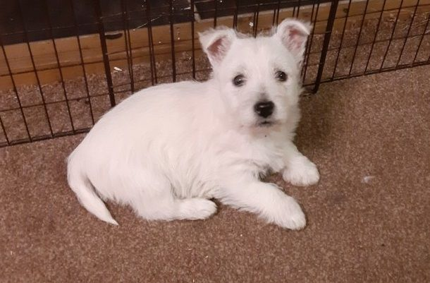 Fdnsh West Highland Terrier Puppies Tulsa Oklahoma Pets For Sale