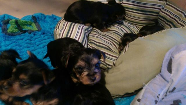 Home Raised And House Broken Yorkies Chicago Illinois Pets For Sale