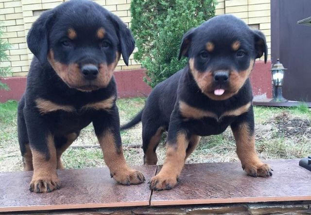 Marvelous Rottweiler Pups Sms443 877 4750 Indianapolis Indiana