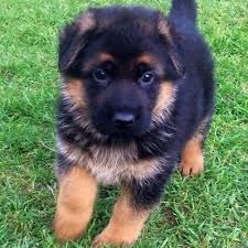 Akc German Shepherd Puppies Sms443 877 4750 Indianapolis Indiana