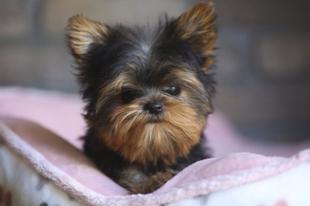 Cute Male And Female Teacup Yorkie Puppies Athens Georgia Pets For