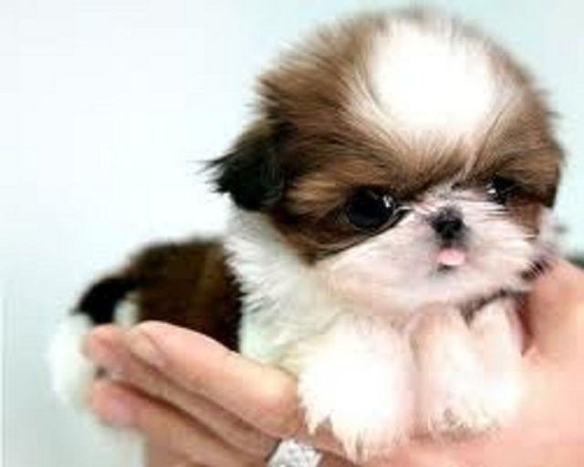 Beautiful Imperial Shih Tzu Puppies For Sale Mobile Alabama Pets For
