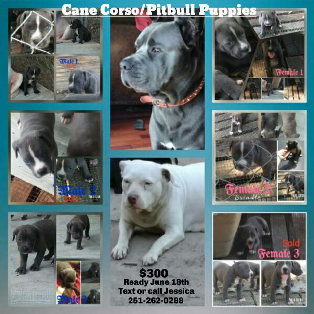 Cane Corsopitbull Puppies Mobile Alabama Pets For Sale Classified