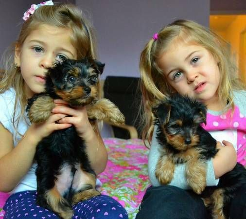 12 Weeks Old Teacup Yorkie Puppies Fort Worth Texas Pets For Sale