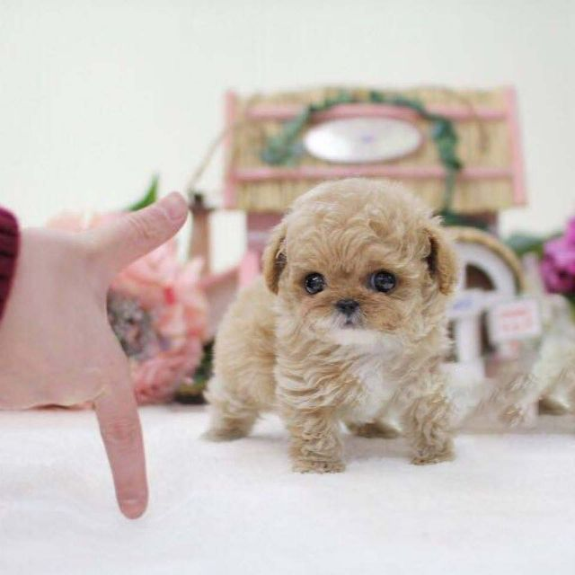 Male And Female Teacup Poodle Puppies For Sale Houston Texas Pets