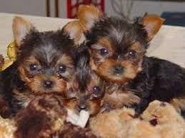 Quality Tiny Yorkie Puppies Corpus Christi Texas Pets For Sale