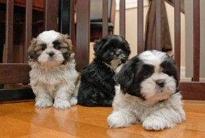 Shih Tzu Puppies Contact 203 694 0908 Columbus Ohio Pets For Sale
