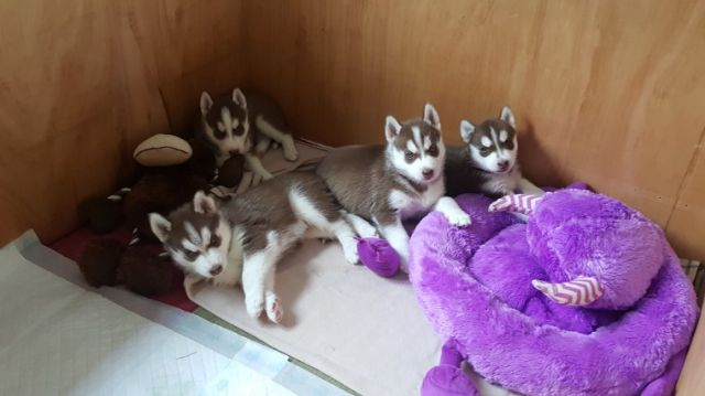 Siberian Husky Puppies For Adoption Alexandria Louisiana Pets For