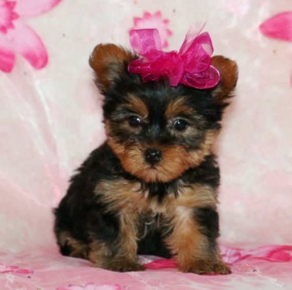 Micro Teacup Yorkie Puppies Peoria Illinois Pets For Sale Classified