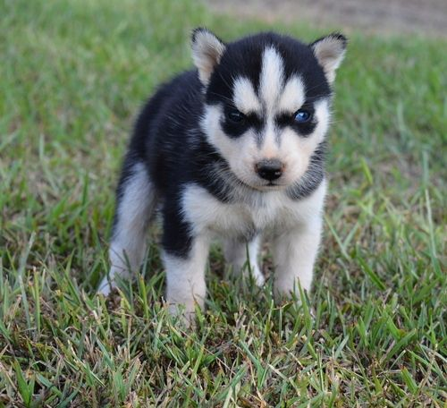 10 Week Old Beautiful Siberian Husky Pups For Sale Peoria Illinois