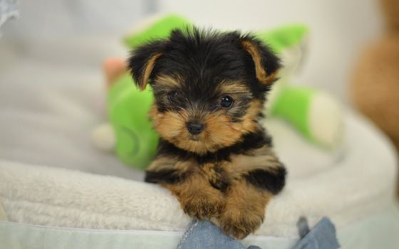 Adorable Tea Cup Yorkie Puppies For Sale Las Vegas Nevada Pets For
