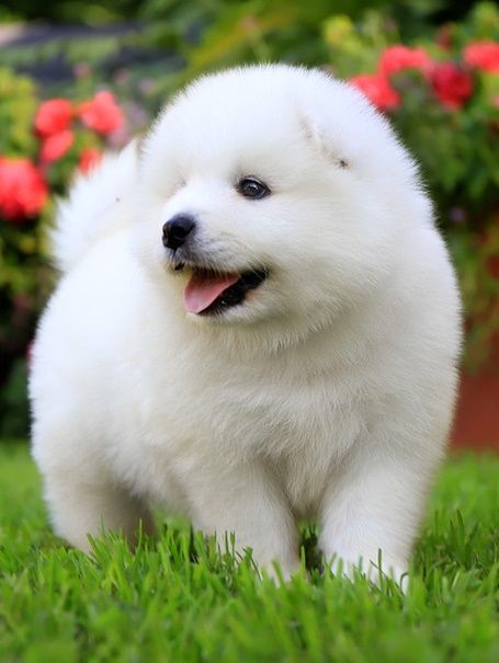 Pure White Samoyed Puppies For Sale Las Vegas Nevada Pets For Sale