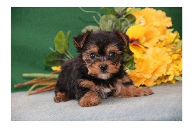 Angelic Tea Cup Yorkie Puppies For Sale San Antonio Texas Pets For