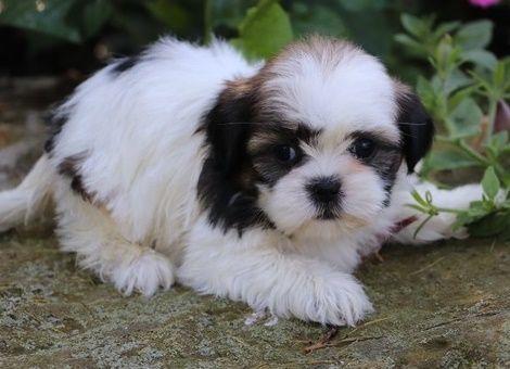 Gregarious Shih Tzu Puppies Kansas City Kansas Pets For Sale
