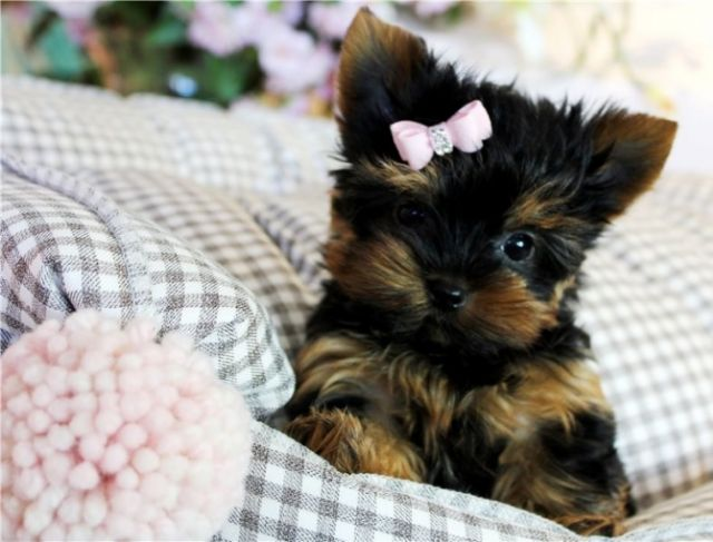 Awesome T Cup Yorkie Puppies Available Abilene Texas Pets For Sale