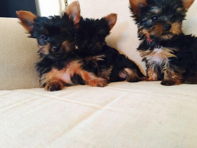 Super Yorkie Pups For Adoption 321 236 6211 Abilene Texas