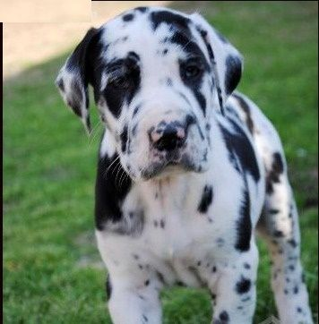 Dotted Black Spot Great Dane Pups For Sale Providence Rhode Island