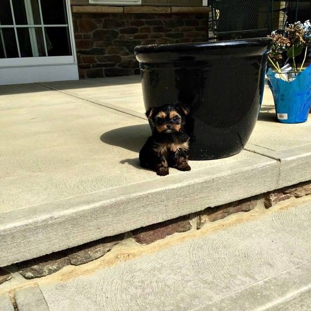 Baby Face Teacup Yorkie Puppies Providence Rhode Island Pets For