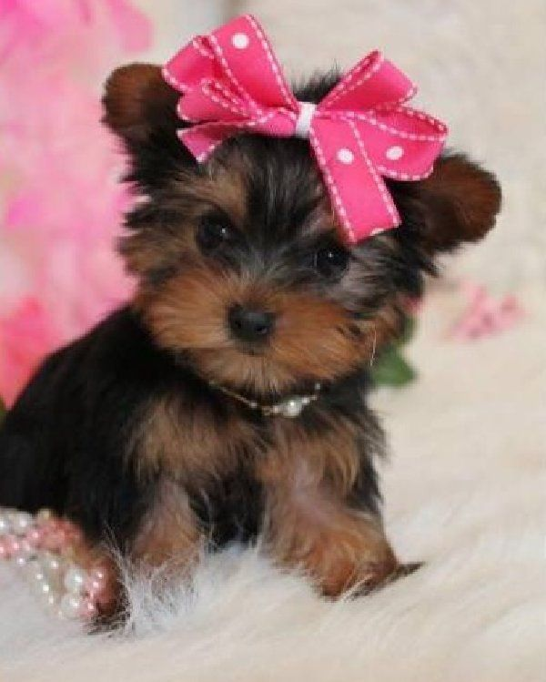Akc Baby Charming Yorkie Puppies Portsmouth Virginia Pets For Sale